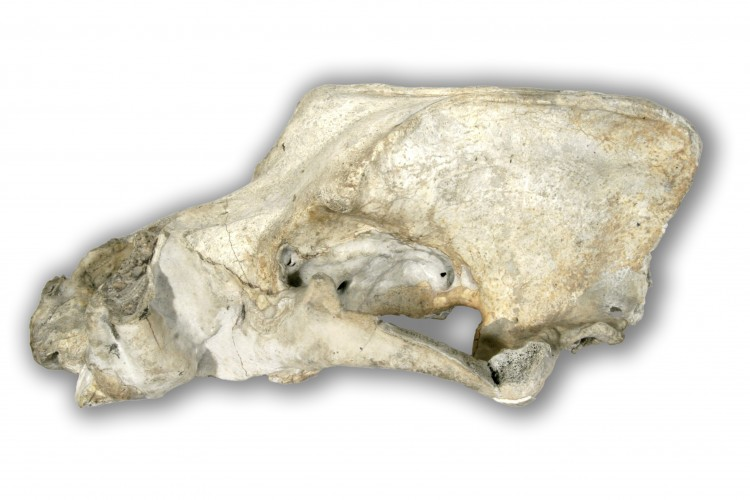 Lebka jeskynního medvěda z Dobrkovické jeskyně.